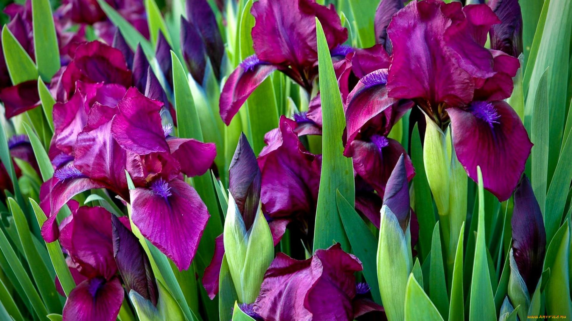 Найти фото цветка ириса